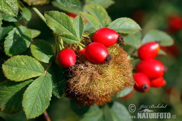 Robin´s Pin Cushion - Bedeguar gall (Diplolepis rosae)