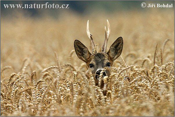 bonne nuit dans image bon nuit, jour, dimanche etc. roe-deer-5445