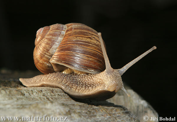 Roman Snail Photos, Roman Snail Images | Photobank NaturePhoto-