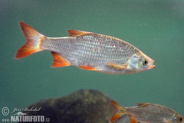 Scardinius erythrophthalmus pictures rudd images nature for Gartenteichfische arten