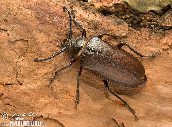 Sawing Support Beetle (Prionus coriarius)