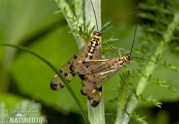 Scorpion Fly (Panorpa germanica)