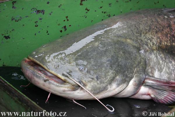 Sheatfish Pictures, Sheatfish Images NaturePhoto