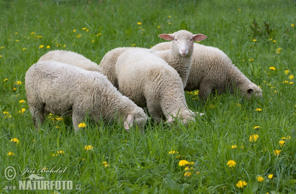 Sheeps (Ovis aries)