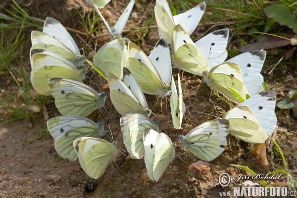 Small Cabbage White (Pieris rapae + napi)