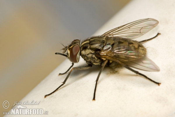 Stable Fly (Stomoxys calcitrans)