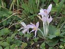 Autumn crocus, Meadow saffron, Naked lady