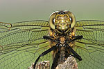 Black-tailed Skimmer F