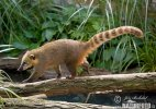 Brown-nosed Coati, South American Coati