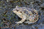 Common Spadefoot
