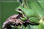 Common Tree Frog