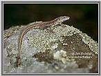 Common Wall Lizard