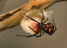 European Black Widow