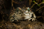European Green Toad