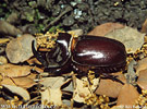 European Rhinoceras Beetle