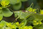 Great Green Bush-cricked