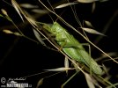 Great Green Bush- cricked