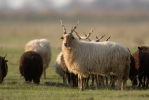 Hungarian Screw-horned Sheep
