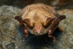 Large Mouse-eared Bat