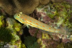 Maiden Goby