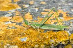 Mediterranean Slant-faced Grasshopper