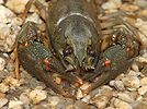 Noble Crayfish