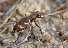 Northern Dune Tiger Beetle
