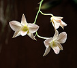 Orchidea sp.