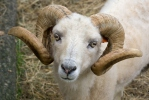 Ovis orientalis aries Ouessant