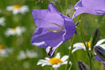 Pach-leaved Bellflower