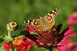 Painted Lady