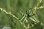 Predatory Bush Cricket
