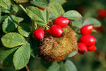 Robin´s Pin Cushion - Bedeguar gall
