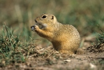 Rodents (Rodentia)