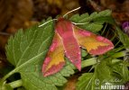 Smal Elephant Hawk-moth