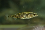 Three-spined Stickleback