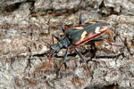 Two-banded Longhorn Beetle