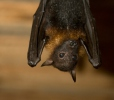 Variable Flying Fox
