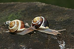 White-lipped Garden Snail