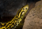 Yellow Anaconda
