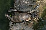 Yellow-bellied Turtle
