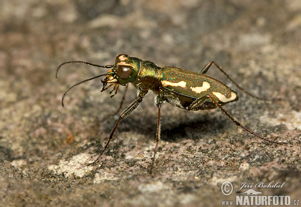 Tiger Beetle (Cicindela sp.)