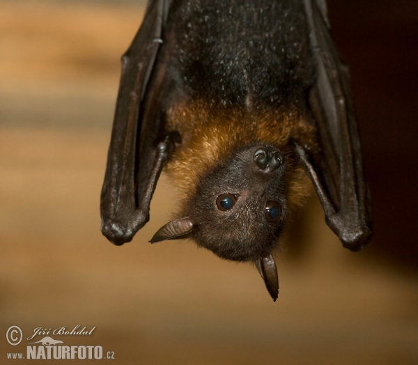 Variable Flying Fox (Pteropus hypomelanus)