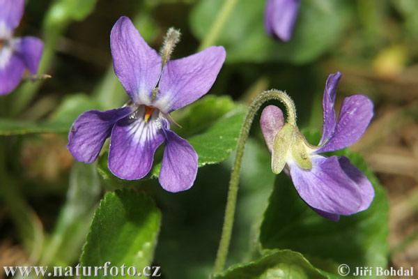Viola mammola ( viola odorata )