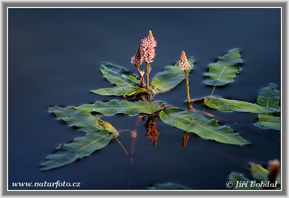 Water Smartweed (Persicaria amphibia)