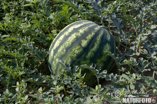 Watermelon (Citrullus lanatus)