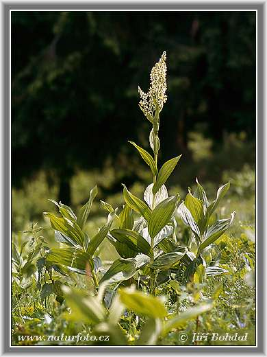 White False-hellebore