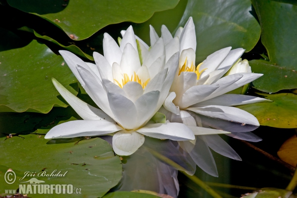 White Water-Lili (Nymphaea alba)