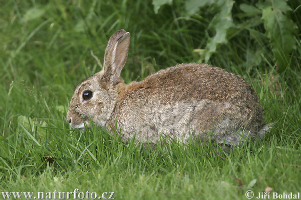 Wild Rabbit Photos, Wild Rabbit Images | Photobank NaturePhoto-