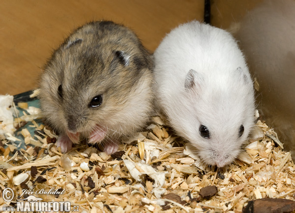 Winter white dwarf hamster photos winter white dwarf - Hamster russe panda ...